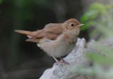 Thrush nightingale (Näktergal )