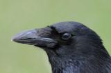 Black crow (Svart kråka )