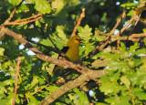 Golden Oriole (Sommargylling )