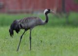 Crane ( Trana )