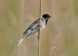 Common Reed- Bunting ( Sävsparv )