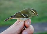 Yellow-Browed Warbler ( Taigasångare )