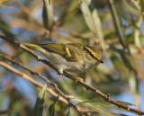 Palla´s Leaf-Warbler ( Kungsfågelsångare )