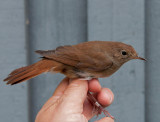 Common nightingale ( Sydnäktergal )