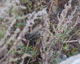 Olivaceous warbler ( Eksångare )
