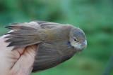 Common Reed-Warbler ( Rörsångare )