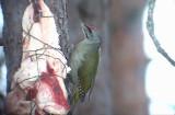 Grey-headed Woodpecker ( Gråspett )