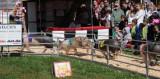 Racing Pigs
