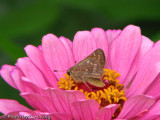 Skipper - Confused Cloudywing?