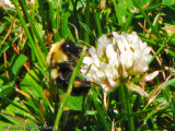 Bumble Bee on White Clover