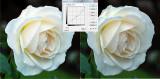 rose_compare.jpg