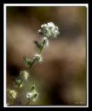arizona_wildflowers