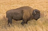Yellowstone bison standing - z P1060683