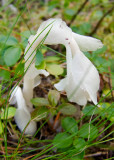Indian pipe at SanSuzEd in northwestern Montana