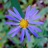 Aster alpinus wildflower at SanSuzEd - IMG_0980