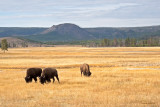 Bison south of Madison Junction in Yellowstone - IMG_2057
