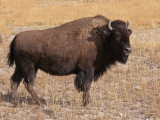Yellowstone bison - female - P1080864