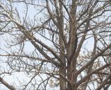 zzc1B_MG_0862 Tree 136mm.jpg