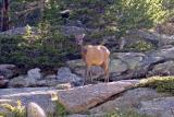 zCRW_0684 Elk at Mills Lake.jpg