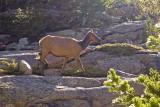 zCRW_0685 Elk at Mills Lake walking.jpg
