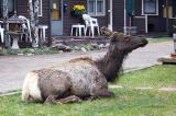 zCRW_0347 Elk in yard.jpg
