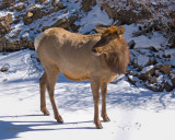 zP1030557 Timid elk stands on river ice.jpg