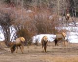 zP1030828 Elk grazing in RMNP.jpg