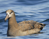 1030_albatrosses_shearwaters