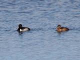 IMG_2384 Ring-necked Duck.jpg