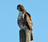 IMG_2768 Red-tailed Hawk.jpg