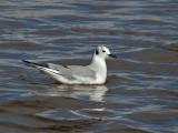 IMG_5476 Bonaparte's Gull.jpg