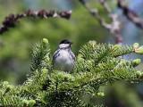 IMG_3922 Blackpoll Warbler.jpg