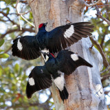 Woodpeckers, Flickers and Sapsuckers