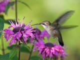 IMG_9561 Ruby-throated Hummingbird.jpg