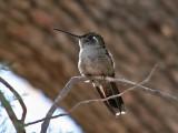 IMG_2131 Magnificent Hummingbird.jpg