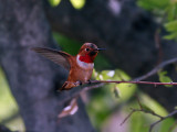 IMG_3405 Rufous Hummingbird.jpg