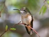 IMG_3227 Calliope Hummingbird.jpg