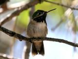 IMG_3511 Calliope Hummingbird.jpg