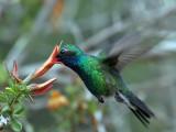 IMG_3426 Broad-billed Hummingbird.jpg