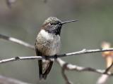 IMG_3974 Black-chinned Hummingbird.jpg