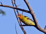 IMG_6357 Western Tanager.jpg