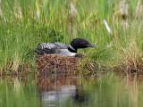 IMG_0895 Loon on nest.jpg