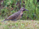 IMG_5342 Northern Flicker - yellow shafted male.jpg