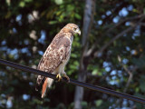 IMG_7553 Red-tailed Hawk.jpg