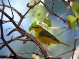 IMG_9669c Hooded Warbler female.jpg