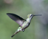 IMG_0636d Magnificent Hummingbird imm male.jpg