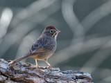 IMG_3225 Rufous-crowned Sparrow.jpg