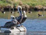 IMG_2065a Brown Pelicans.jpg