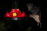 Nectar Bats