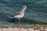 IMG_4457 Pectoral Sandpiper juvenile.jpg